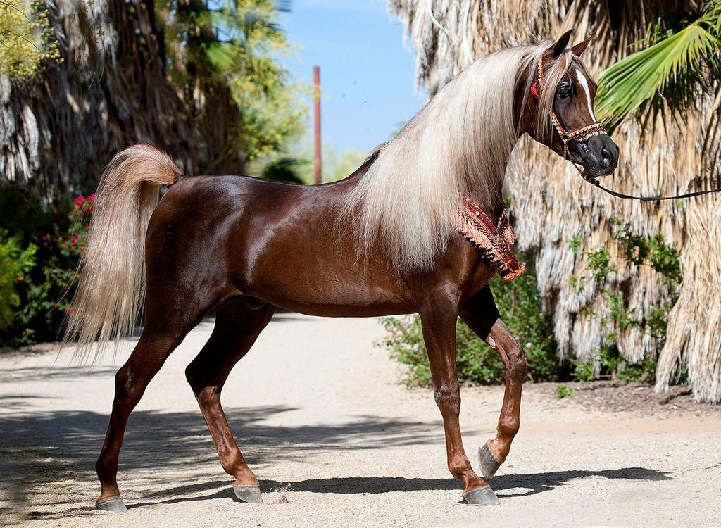 Arap Atı ve Yerli At