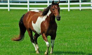 Atlara Nasıl Kilo Aldırılır?