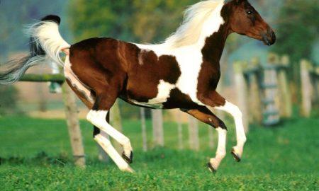 Atların Karakteristik Özellikleri Nelerdir?