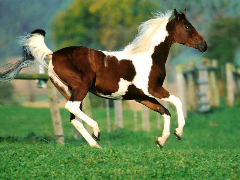 atların-karakteristik-ozellikleri-nelerdir