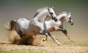 Atlar Neden Uyumaz?