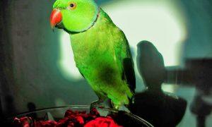 Papağanım Titriyor Nedeni Nedir?