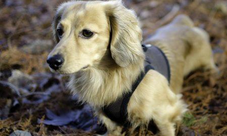 Köpeğiniz Arı Tarafından Sokulursa Ne Yapılmalı?