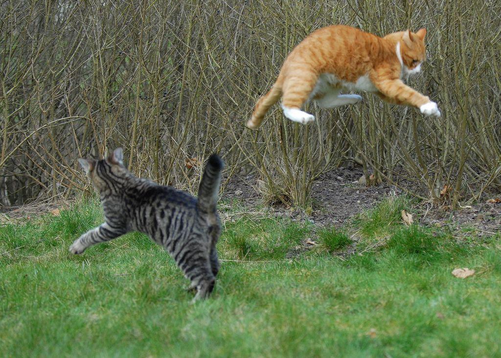 Kedilerin Kavga Etmesiyle Oyun Oynaması Nasıl Ayırt Edilir?