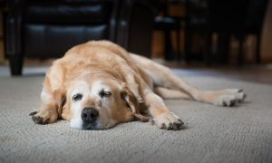 Köpeğiniz Geceleri Uyumuyorsa Ne Yapmalısınız?