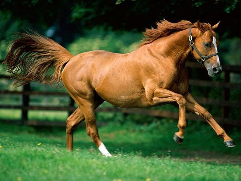 atların-karakteristik-ozellikleri