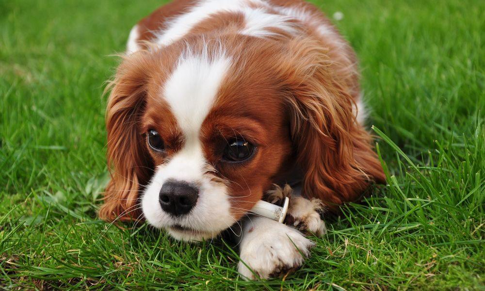 Köpeklerin Kaka Yemesi Nasıl Engellenir?