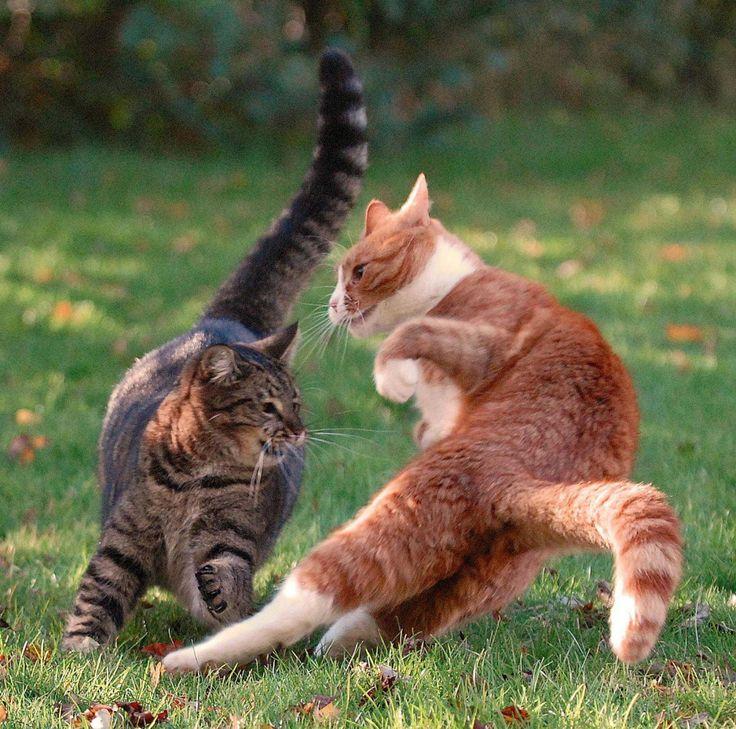kedilerin-kavga-etmesiyle-oyun-oynamasi-nasil-ayirt-edilir